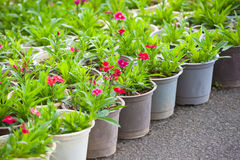 Many young red flower plants in pots Stock Photos