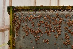 Many young snails farm snails Stock Photo