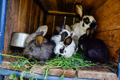 Many young sweet bunnies in a shed. A group of small colorful rabbits family feed on barn yard. Easter symbol Stock Photo