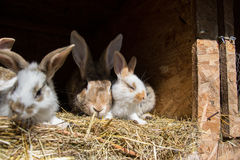 Many young sweet bunnies in a shed. A group of small colorful rabbits family feed on barn yard. Easter symbol Royalty Free Stock Photos