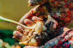Many young tulip onions lie in the hands of a close-up.  stock images