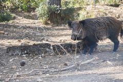 Many young wild boar around her mother in Cazorla, Jaen, Spain.  Stock Image