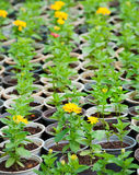 Many young yellow flower plants in pots Royalty Free Stock Image