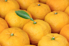 Many yuzu on the table. Many Yuzu all around the table Royalty Free Stock Photography