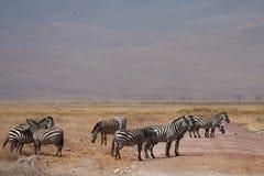 Many zebras in Africa safari. Many zebras walking by Africa safari road Stock Images