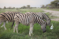 Many zebras eating and grazing in the bushes of the park Etosha. Royalty Free Stock Images