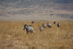 Many zebras walking in Africa safari Royalty Free Stock Photos