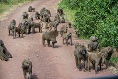 Manyara国家公园,坦桑尼亚-在路的狒狒家庭 库存照片
