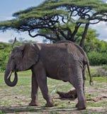 manyara Танзания озера африканского слона Стоковое Фото