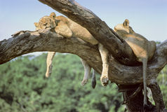 Manyara lions. Two young lions are sleeping on a tree branch near Manyara lake, Tanzania Stock Images