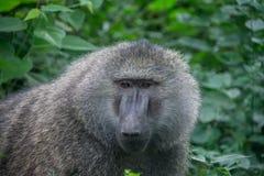 Manyara nationalpark, Tanzania - babian Royaltyfri Foto