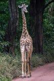 Manyara nationalpark, Tanzania - giraff Royaltyfria Foton