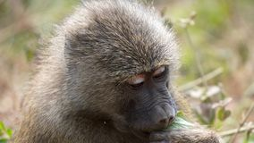 Baboon, Manyara park, Tanzania. Manyara is one of the smallest national parks in Tanzania. Groups of baboons laze and eat on the aisles stock photo