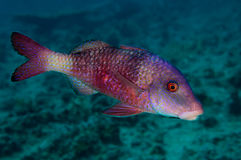 Manybar Goatfish Stock Afbeeldingen
