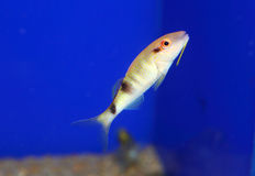 Manybar goatfish Royalty Free Stock Photo