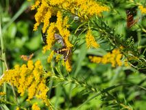 ManyWings Display Color On A Goldenrod Plant. Many wings flutter on this goldenrod plant. Butterflies, moths, bees and wasps seem to all get along this time of Stock Photo