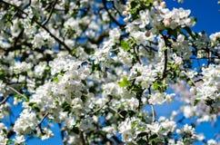 Manzana-árbol floreciente fotografía de archivo libre de regalías