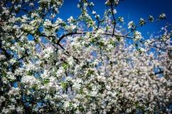 Manzana-árbol floreciente fotos de archivo libres de regalías