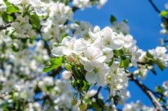 Manzana-árbol floreciente foto de archivo libre de regalías