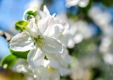 Manzana-árbol floreciente imagenes de archivo