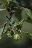 Manzana amarga Foto de archivo libre de regalías