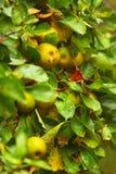 Manzana amarilla que crece en árbol Productos naturales Foto de archivo