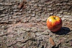 Manzana amarilla roja en la corteza Imágenes de archivo libres de regalías
