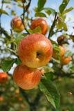 Manzana amarilla y roja en un árbol en huerta Fotografía de archivo
