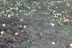 Manzana caida en hierba Imagenes de archivo
