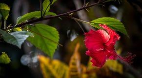 manzana color de rosa del agua hermosa en color rojo imagenes de archivo
