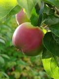 Manzana creciente 1 fotografía de archivo