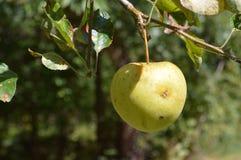 Manzana de cangrejo Fotografía de archivo