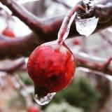 Manzana de cangrejo cubierta en hielo Imagen de archivo libre de regalías