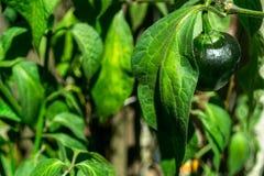 Manzana de Chile Foto de archivo