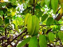 Manzana de estrella o carambola verde en árbol Imagen de archivo libre de regalías