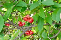 Manzana de la cera fotografía de archivo
