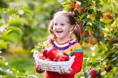 Manzana de la cosecha de la niña en jardín de la fruta Foto de archivo libre de regalías
