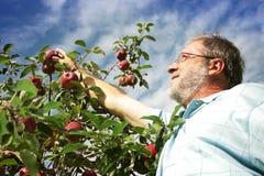 Manzana de la cosecha del hombre en huerta Fotografía de archivo libre de regalías