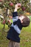 Manzana de la cosecha del niño Imagen de archivo