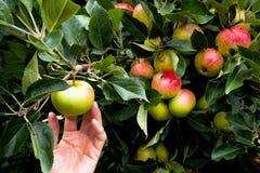 Manzana de la cosecha de la mano del manzano maduro Fotos de archivo libres de regalías