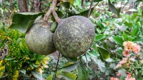 Manzana de madera y x28; Marmelos& x29 de Aegle; Imagen de archivo libre de regalías
