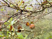 Manzana de roble, rozadura, en árbol Imagen de archivo