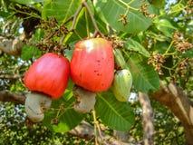 Manzana del anacardo Fotos de archivo