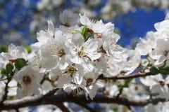 Manzana del flor Fotografía de archivo libre de regalías