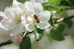 Manzana del flor Imagen de archivo libre de regalías