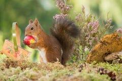 Manzana dulce Imágenes de archivo libres de regalías