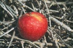 Manzana firme jugosa roja de la fruta bajo luz del sol en la mentira en ramas i fotografía de archivo