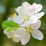 Manzana floreciente. Foto de archivo