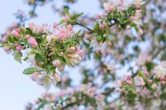 Manzana floreciente Fotos de archivo