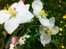 Manzana floreciente Imagen de archivo libre de regalías
